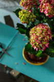 Bouquet of green and pink hydrangeas on a table at home closeup. Bouquet of blooming green and pink hydrangeas hortensia flowers on a table at home closeup with stock image