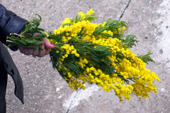 Bouquet in hand. Bright bouquet of mimosa in a female hand Stock Images