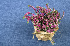 Bouquet of heather on a blue tablecloth Royalty Free Stock Image