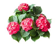 Bouquet of hydrangea macrophyllas on white background Stock Image
