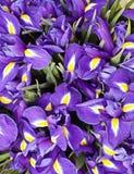 Bouquet iris Stock Image
