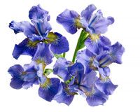 Bouquet iris flower Isolated on white background Royalty Free Stock Photo