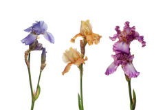 Bouquet of  iris flowers Royalty Free Stock Photography