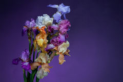 Bouquet of  iris flowers Stock Photo
