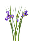 Bouquet of iris. Isolated  on white Royalty Free Stock Image