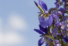 Bouquet of Irises. Dark blue irises against the blue sky Royalty Free Stock Images