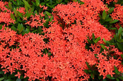 Bouquet of ixora flower, West Indian Jasmine Stock Photo