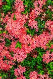 Bouquet of ixora flower, West Indian Jasmine, Ixora chinensis La Stock Photography