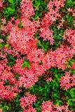 Bouquet of ixora flower, West Indian Jasmine, Ixora chinensis La Stock Photography