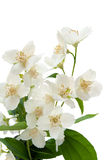 Bouquet of Jasmine Royalty Free Stock Images