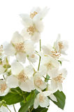 Bouquet of Jasmine Stock Images
