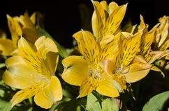 Bouquet jaune d'hémérocalle au soleil de début de la matinée photos stock
