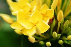 Bouquet jaune de fleur de transitoire sur le fond de nature image stock