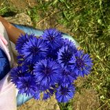 bouquet of knapweed Royalty Free Stock Photography