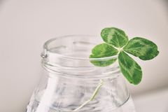 A bouquet of l field four-leaf clovers in a small vase on a ligh Stock Photos