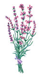 Bouquet of lavender. vector illustration