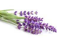 Lavender. Royalty Free Stock Photos