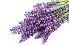 Lavender. Royalty Free Stock Images