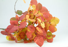Bouquet of leaves with the colors of autumn. Isolated Royalty Free Stock Photography