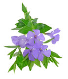 Bouquet lesser periwinkle Stock Photography