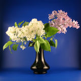 Bouquet of a lilac Stock Photography