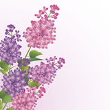 Bouquet of lilac blossoms. Bouquet of beautiful lilac blossoms against white background Royalty Free Stock Image