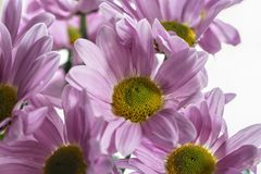 Bouquet of lilac chrysanthemums stock image