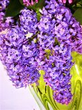 Bouquet of lilac flowers in a yellow transparent vase. royalty free stock image