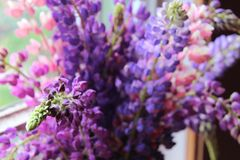 Bouquet of lilac and pink lupins close-up stock photo