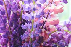 Bouquet of lilac and pink lupins close-up royalty free stock images