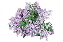 Bouquet of lilacs Royalty Free Stock Photography