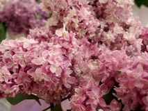 Bouquet of lilacs Royalty Free Stock Image