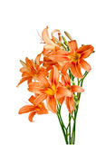 Bouquet of lilies Stock Image