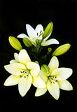 Bouquet of lilies. Royalty Free Stock Photography