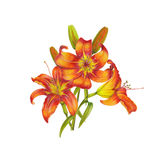 Bouquet of lilies. Watercolor lilies on white background Royalty Free Stock Images