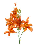 Bouquet of lilies Royalty Free Stock Image