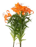 Bouquet of lilies on white background Royalty Free Stock Image