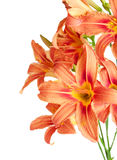 Bouquet of lilies on a white background Royalty Free Stock Photography