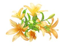 Bouquet of lily. Pictured a bouquet of lily in a white background Royalty Free Stock Photography