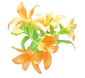 Bouquet of lily. Pictured a bouquet of lily in a white background Stock Images