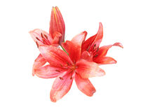 Bouquet of lily. Pictured a bouquet of lily in a white background Stock Image