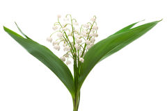 Bouquet of lily of the valley. On a white background Stock Images