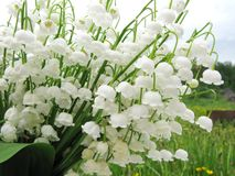 Bouquet of lily of the valley flowers Royalty Free Stock Images
