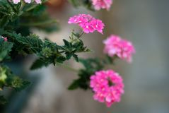 A bouquet of little pastel pink flowers, taken with a large opening royalty free stock photo