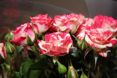 Bouquet of little roses. With buds Stock Photos