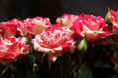 Bouquet of little roses. With buds Stock Images