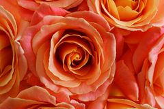 Bouquet of live orange-pink roses close-up. Bouquet of live orange-pink roses close-up, floral background Royalty Free Stock Image