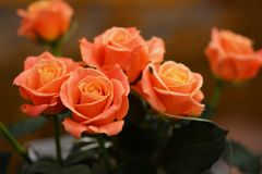 Bouquet of live orange-pink roses close-up. Bouquet of live orange-pink roses close-up, floral background Stock Photo