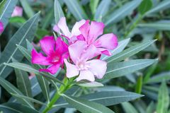 A bouquet of lovely pink petals of fragrant Sweet Oleander or Rose Bay, blooming on green leafs and blurry background stock photos