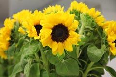 Bouquet lumineux de grands tournesols Photographie stock libre de droits